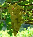 107px-chenin_blanc_grapes.jpg