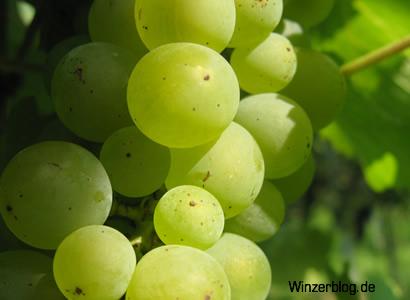 Sauvignon_blanc-copyright-winzerblog.jpg